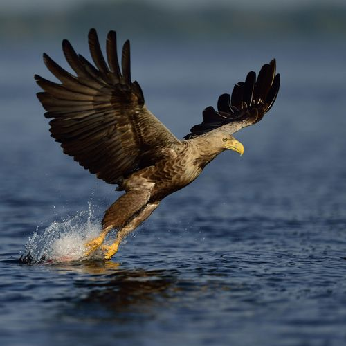 White-tailed Eagle safari