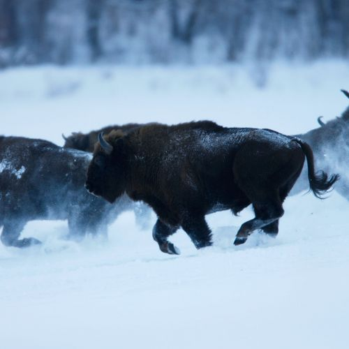 Track the Bison